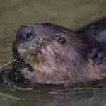 beaver1-150x150